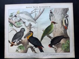 Kirby & Schubert 1889 Antique Bird Print. Parrot, Cockatoo, Toucan, Woodpeckers